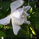 Fragrant Gardenia by Ginny Schmidt