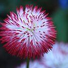 Little Daisy II by vbk70