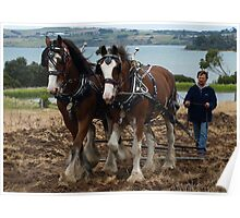 Clydesdales - Churchill Island,  Gippsland Poster