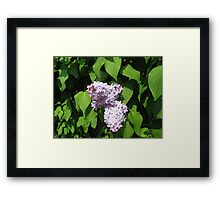 Study in Lilac Framed Print