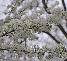 White tree blossoms by mltrue