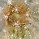 Dandelion - Stage I by vbk70