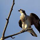 Osprey  by JamesA1