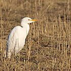 Cattle Egret  -  Bubulcus ibis by Barb Miller