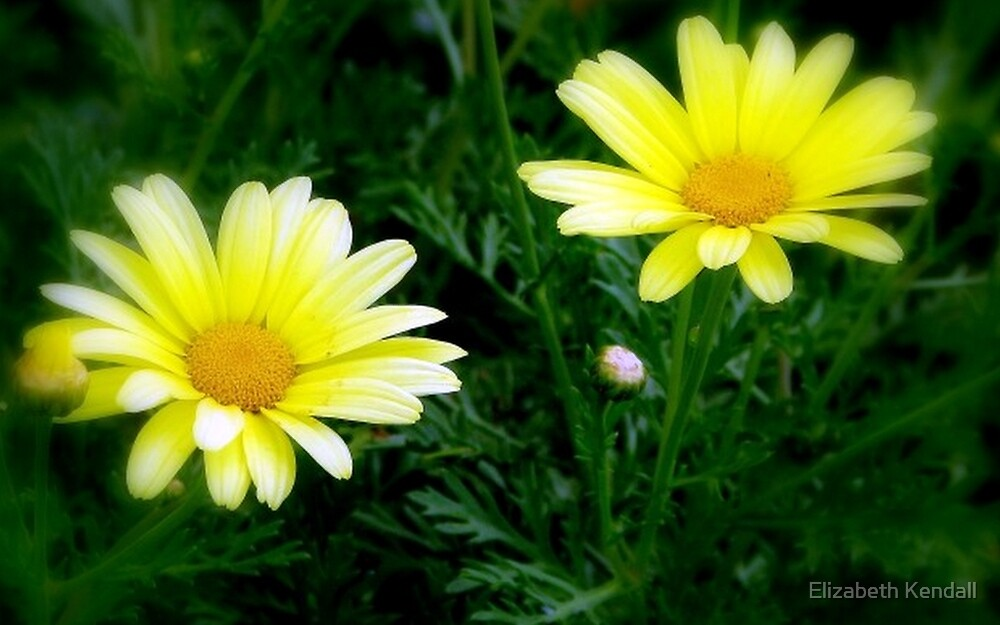 Geel Magrietjies / Yellow Marguerites by Elizabeth Kendall