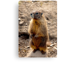 Marmot Standup Canvas Print