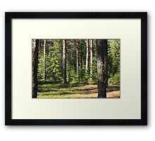 sunny day in a pine forest Framed Print