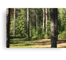 sunny day in a pine forest Canvas Print