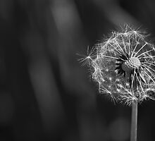 Dandelion seed head by Esther  Moliné