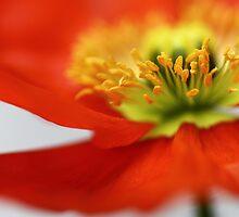 Sweet little Poppy... by Bob Daalder