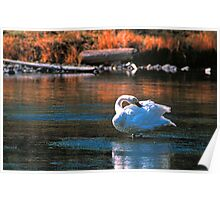 TRUMPETER SWAN,MADISON RIVER Poster