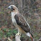 Redtail Hawk by Karen K Smith