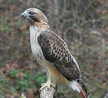 Redtail Hawk by Karen K Smith
