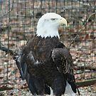 Bald Headed Eagle by Karen K Smith