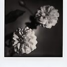 Blanches Roses by MoiMM