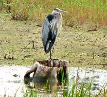 Great Blue Heron - Broken Cup by Barb Miller
