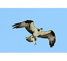 Osprey with todays catch! Photographic Print