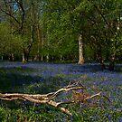 Bluebells at Ashridge by JMChown