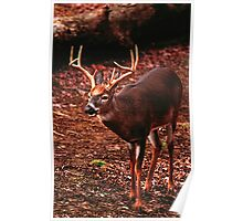 WHITE TAIL BUCK, CADES COVE Poster