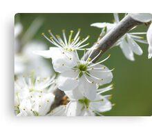 kirschblüte -cherry bloom Canvas Print