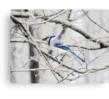 Blue Jay on a Branch Canvas Print