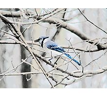 Blue Jay on a Branch Photographic Print
