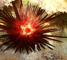 Sea Urchin Macro 2 by Leon Heyns
