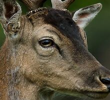 Richmond Deer by spredwood
