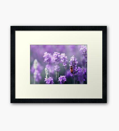 Bee in Lavender Framed Print
