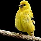 State Bird of Washington...GOLDFINCH by RoseMarie747