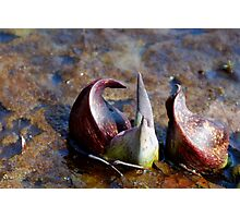 skunk cabbage Photographic Print