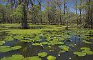 Cypress Swamp by Tamas Bakos