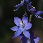 Slender Sun Orchid by Justine Armstrong