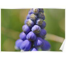 Grape Hyacynth Poster