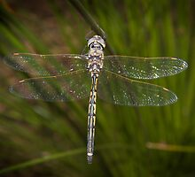 Dragon fly 3 by wildrider58