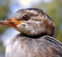 I'm A Water Bird. - Juvenile Grebe.  by Liza Barlow