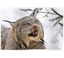 Yeti....Canadian Lynx  Poster
