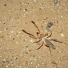 Sunspider (Windscorpion, Camel Spider) by Kimberly Chadwick