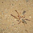 Sunspider (Windscorpion, Camel Spider) by Kimberly Chadwick