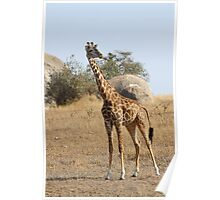 Maasai Giraffe, Serengeti National Park, Tanzania Poster