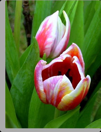 Two color Tulip by ienemien