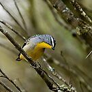 Pardalote by Murray Wills