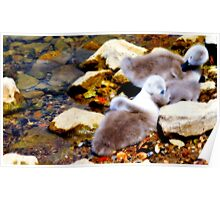 Cygnets On Sackler Lake Kew Gardens Poster