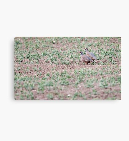 Red-legged Partridges Canvas Print