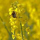 Bumblebee by Yves Roumazeilles