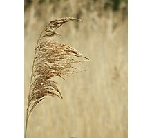 Tall reed Photographic Print