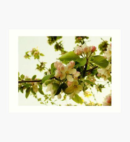 Apple Blossom on White Art Print
