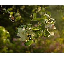 Apple Blossom Backlit Photographic Print