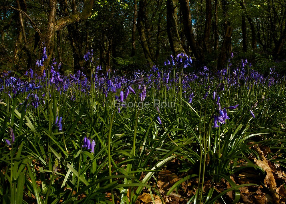 Bluebells in Prehen Woods by George Row