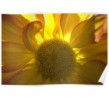 Sunflower, Backlit Poster